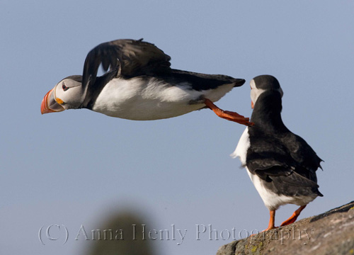 A puffin takes off