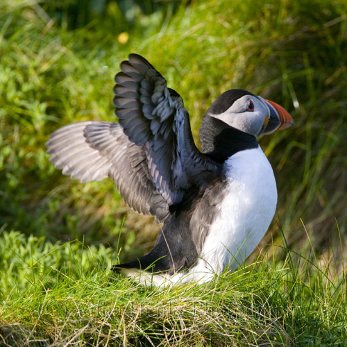 Bird photography. puffin flapping its wings
