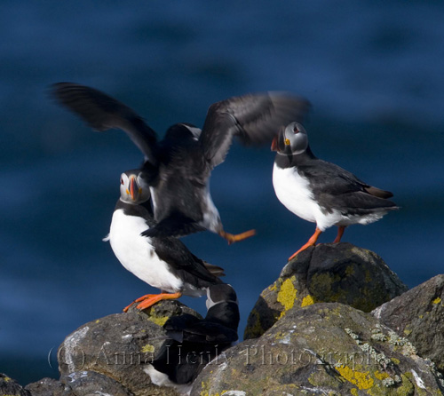 Isle of May photography, puffins flying