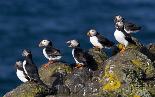Puffin party