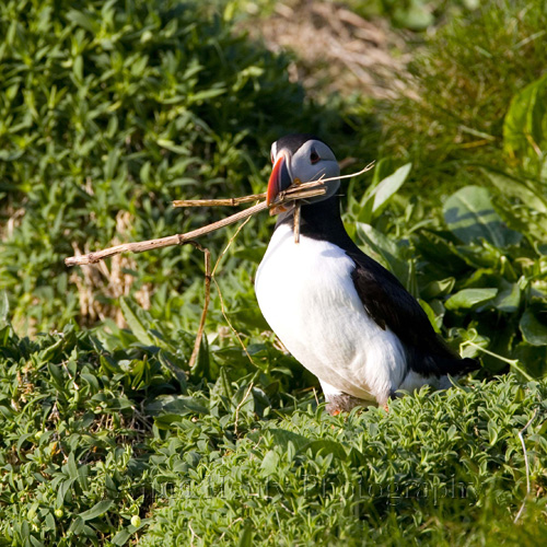 Puffin collecting nesting material for its burrow