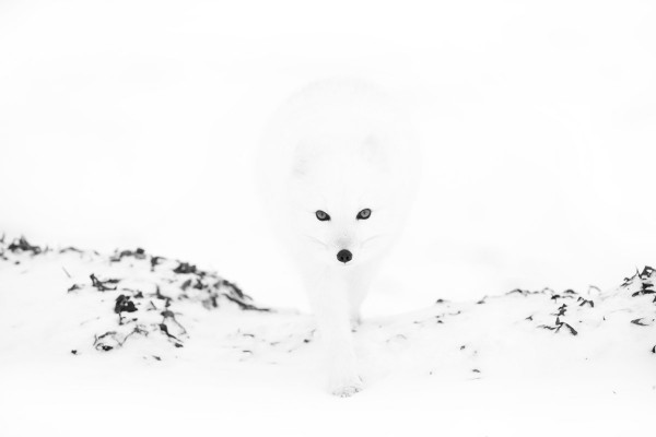 BBC Wildlife Photographer of the Year 2007 - Arctic Fox