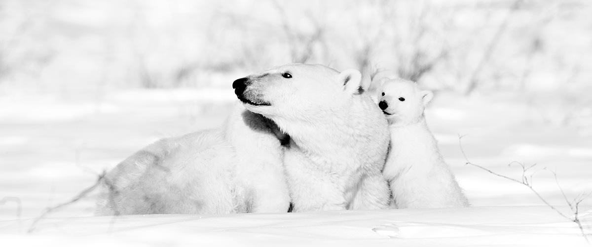 Contact Anna - Polar Bear and Cub